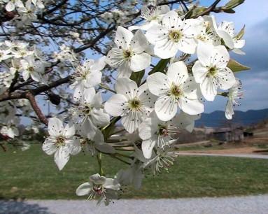 Bradford_pear_tree_blossoms